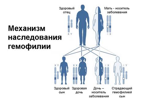 Механизм наследования гемофилии, если мать носитель заболевания