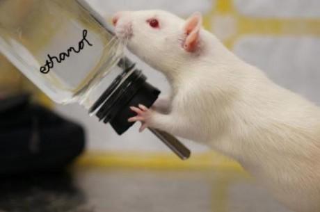 Крысы с деактивированной боковой уздечкой хотели пить быстрее и больше алкоголя, чем контрольная группа.