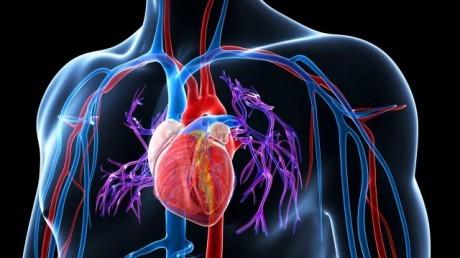 Разработанный пептид 4F не только снижает уровни окисленных липидов, но и нормализует работу сердца и легких