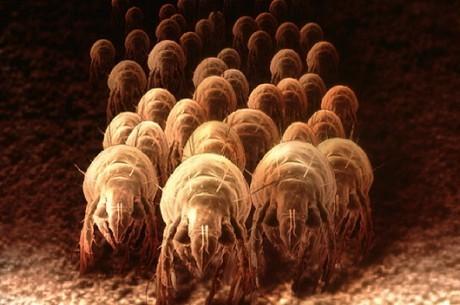 Клещи домашней пыли