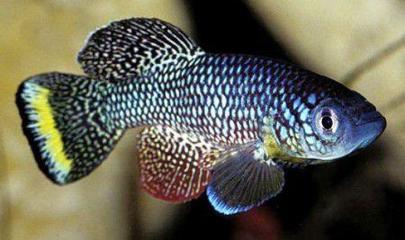 Ген рыбок может помочь людям продлить жизнь