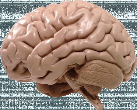 Ученые показали, как образуются извилины мозга