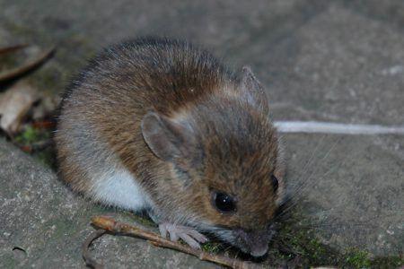 Иммунная система серых мышей более похожа на иммунную систему взрослого человека