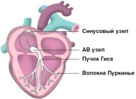 Синусовый узел на схеме приводящей системы сердца