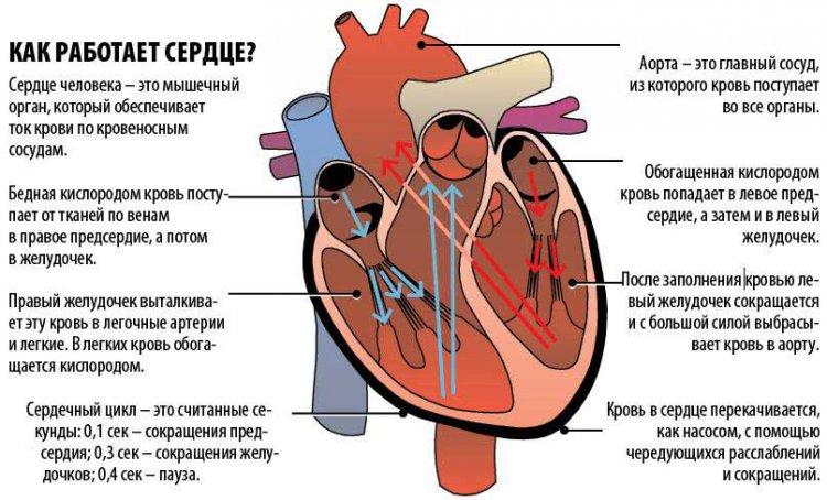Схема работы сердца