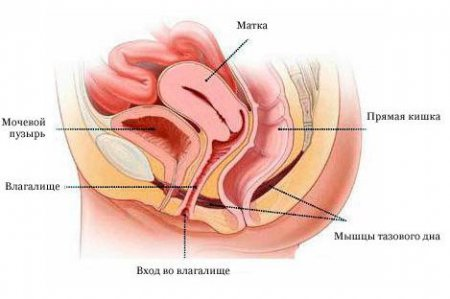 Расположение органов малого таза у женщин